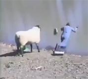 Paziiiiiiii se ovce!